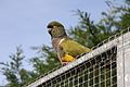 Cyanoliseus patagonus -The Parrot Zoo, Friskney, Lincolnshire, England-8a (1).jpg