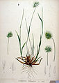 Cynosurus echinatus — Flora Batava — Volume v20.jpg