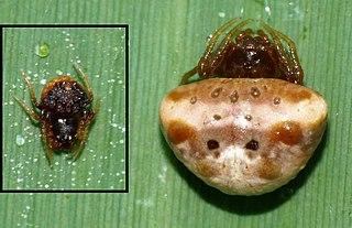 Cyrtarachninae