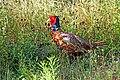 DSC02949 - Male Pheasant (30036607897).jpg
