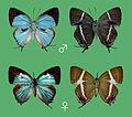 Dacalana lucillae, male & female,.JPG