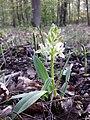 Dactylorhiza sambucina sl29.jpg