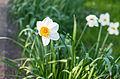 Daffodil (7013482433).jpg