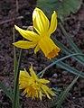 Daffodils (49701015956).jpg