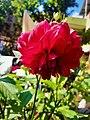 Dahlia Flowers (9).jpg