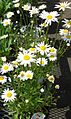 Daisies plants growing in NJ in April.jpg