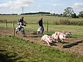 Damerham, pig race - geograph.org.uk - 1484593.jpg