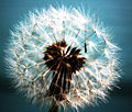 Dandelion abstract.jpg