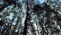 Dandenong Ranges trees.jpg