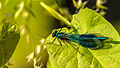 Dark green broadwinged damselfly or demoiselle.jpg