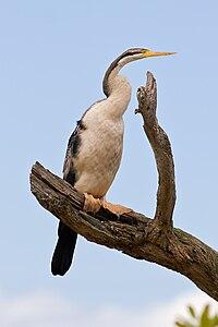 Darter - Anhinga novaehollandiae, Victoria, Australia