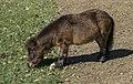 Dayboro Shetland Pony-1 (29714747935).jpg