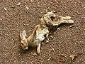 Dead rabbit (Oryctolagus cuniculus) (9616896544).jpg