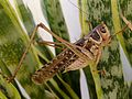 Decticus albifrons. White-faced Bush Cricket. Male - Flickr - gailhampshire (1).jpg
