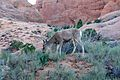 Deer eating in Arches National Park, Sunset (3457963253).jpg