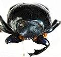 Deltochilum (Deltohyboma) gigante Silva & Vaz-de-Mello, 2014 - 5434147270.jpg