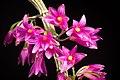 Dendrobium goldschmidtianum Kraenzl., Repert. Spec. Nov. Regni Veg. 7 40 (1909) (32680441987).jpg
