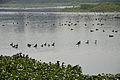 Dendrocygna javanica - Santragachi Lake - Howrah 2013-01-25 3611.JPG