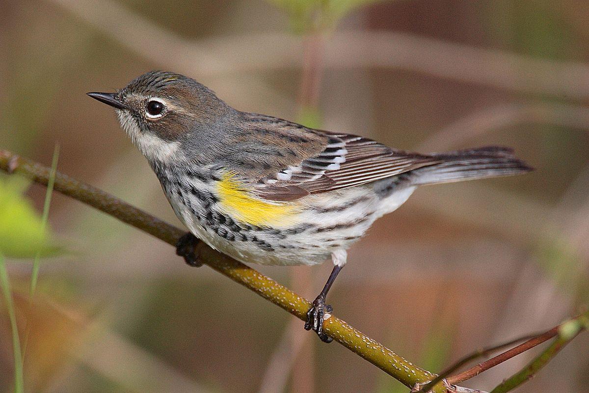 Yellow Rumped Warbler Natural History