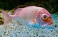 Dentex tumifrons Kyoto aquarium 3.jpg