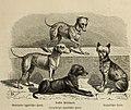 Der Hund und seine Racen. Naturgeschichte des zahmen Hundes, seiner Formen, Racen und Kreuzungen (1876) (20852811302).jpg