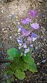 Der Muskatellersalbei, lat. Salvia sclarea 03.jpg