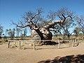 Derby boab, Western Australia.jpg