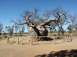 image of Derby boab, Western Australia
