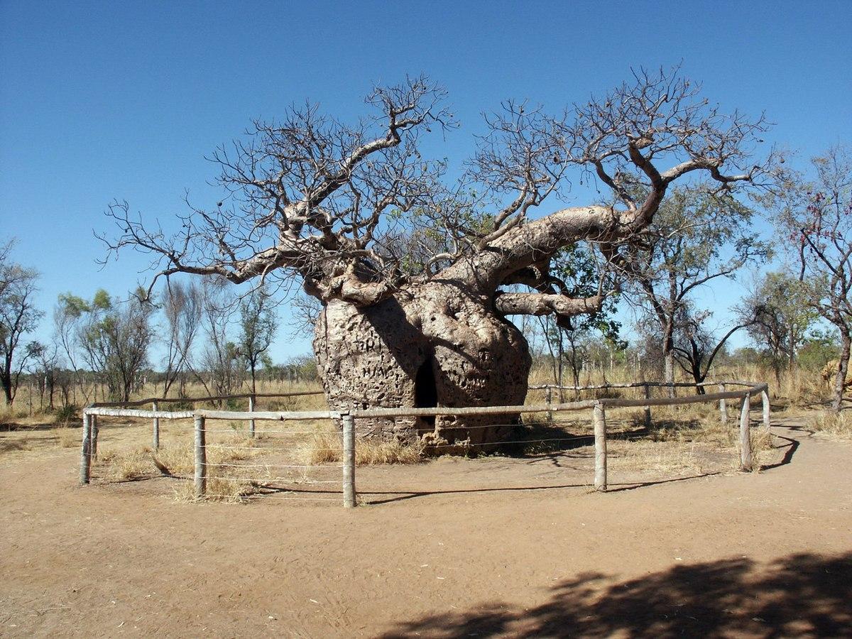 Kuo ypatingas baobabas