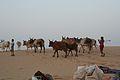 Desert Herders (6652766927).jpg