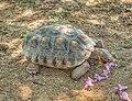 Desert Tortoise (Gopherus agassizii)2.jpg