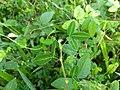 Desmodium triflorum-Cherupulladi, Cherupalladi, Threeflower Ticktrefoil 2.jpg
