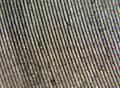 Detalle del zurco de un disco de gramófono (recorte de la zona enfocada).png
