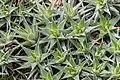 Deuterocohnia lorentziana in Botanischer Garten Muenster (1).jpg