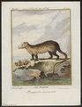 Didelphis cancrivora - 1700-1880 - Print - Iconographia Zoologica - Special Collections University of Amsterdam - UBA01 IZ20300076.tif