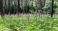 Digitalis purpurea - Purple Foxglove - Roter Fingerhut - Hesse - Germany - 34.jpg