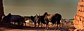 Dinka Bull, Wau. Sudan - panoramio.jpg