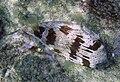 Diodon holocanthus in kona 2.jpg