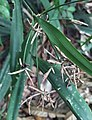 Diplasia karatifolia com flores.jpg