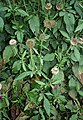 Dipsacus strigosus 4.jpg
