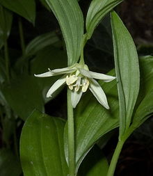 Disporum viridescens flower.jpg