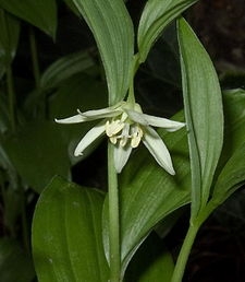 Disporum viridescen