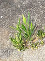 Dodonaea viscosa - Hop Bush at Chandragiri hills Shravanabelagola (5).jpg