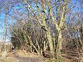 Dog Kennel Wood - geograph.org.uk - 1118044.jpg