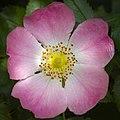Dog rose (40555043610).jpg