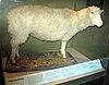複製羊多利標本