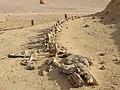 Dorudon atrox Fossil Skeleton in Egypt.jpg