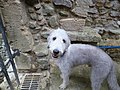 Doug the Bedlington.jpg