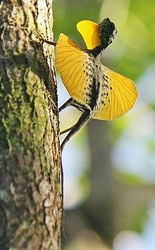 Draco (genus) - Wikipedia