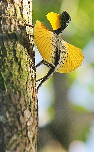 "Draco (genus) - Male Draco spilonotus extending the gular flag (throat flap) and patagia (""wings"") in Sulawesi, Indonesia"